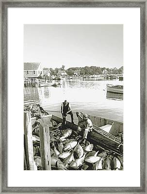 Bluefin Tuna At Barnstable Harbor Framed Print