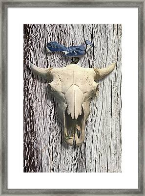 Bluejay And The Buffalo Skull Framed Print