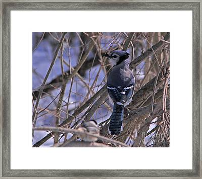 Bluejay In The Woods Framed Print
