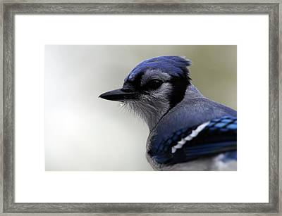 Bluejay Framed Print by Mike Martin