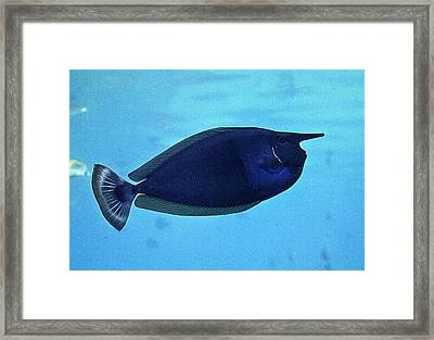 Bluespine Unicorn Fish Framed Print