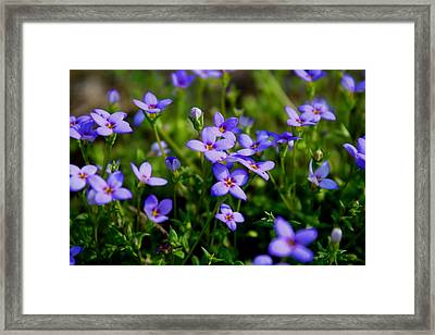 Framed Print featuring the photograph Bluets by Kathryn Meyer