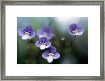 Bluettes Framed Print by Laurie Paci