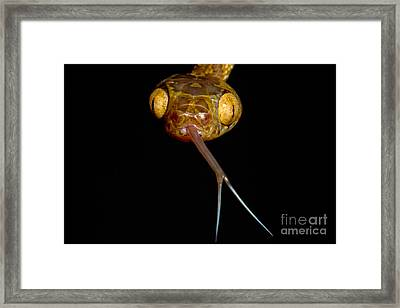 Blunthead Tree Snake Framed Print