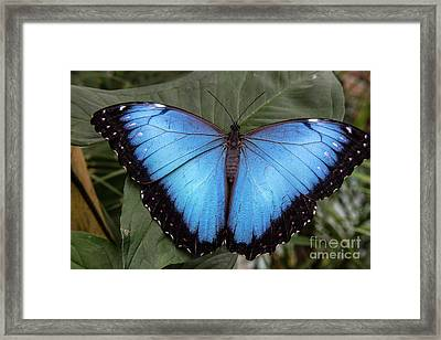 Blue Morph Framed Print