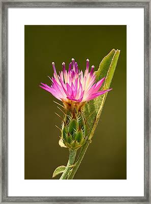 Blush Centaury-thistle Framed Print by Yuri Peress