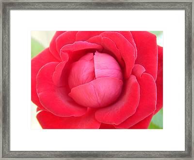 Blush Lettuce Rose Framed Print