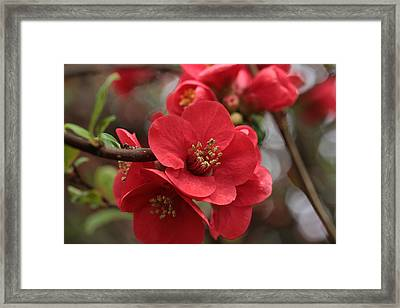 Blushing Blooms Framed Print by Connie Handscomb