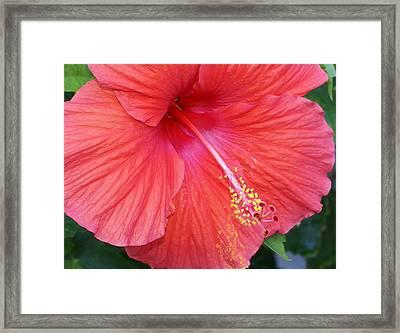 Blushing Stamen Framed Print by Debbie May
