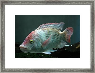 Blushing Tilapia Framed Print