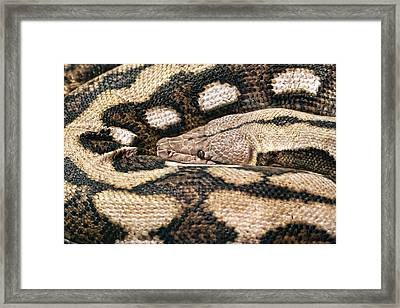 Boa Constrictor Framed Print by Tom Mc Nemar