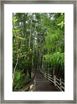 Boardwalk Through The Bald Cypress Strand Framed Print by Barbara Bowen