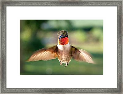 Boastful  Framed Print by Bill Pevlor