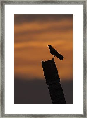 Boat-tailed Grackle At Sunset Framed Print
