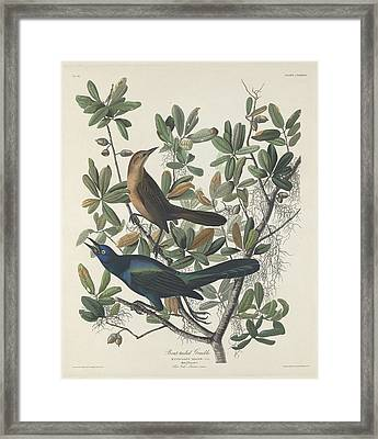 Boat-tailed Grackle Framed Print by Rob Dreyer