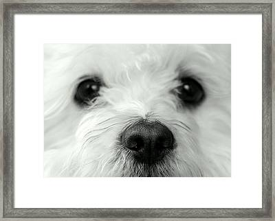 Bobbles The Bichon Framed Print