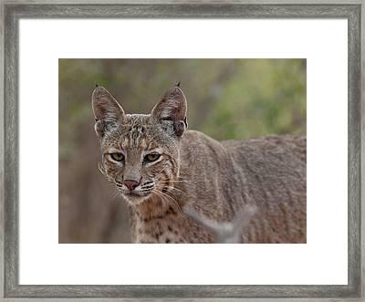 Bobcat - 01 Framed Print by George Phile