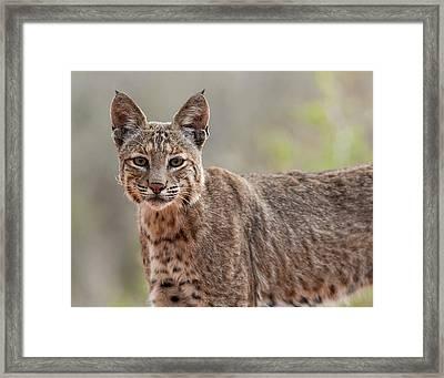 Bobcat - 02 Framed Print by George Phile