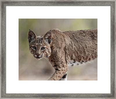 Bobcat - 03 Framed Print by George Phile