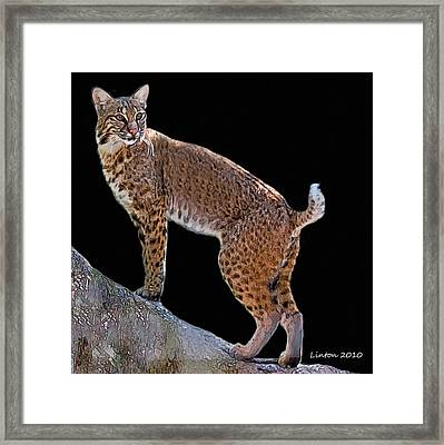 Bobcat 2 Framed Print by Larry Linton