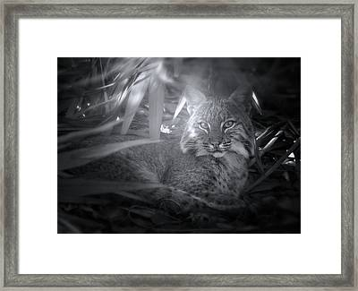 Bobcat At Sunrise Framed Print