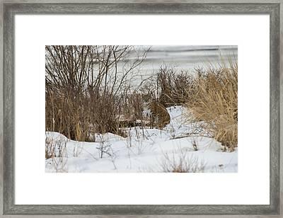 Bobcat Blending In Framed Print by Bill Cubitt