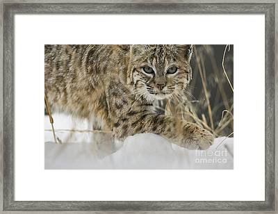 Bobcat Comes Close Framed Print