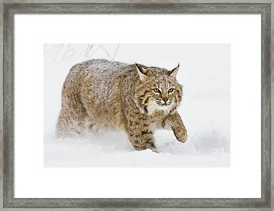 Bobcat In Snow Framed Print