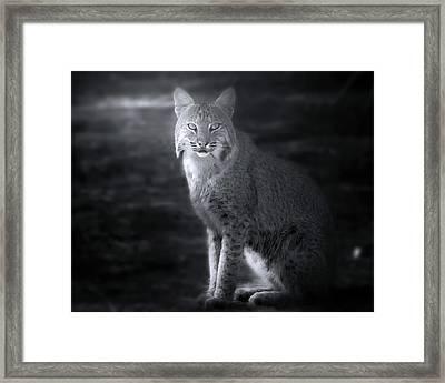 Bobcat In The Mist Framed Print