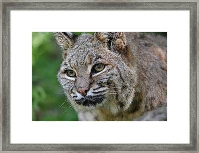 Bobcat In The Trees Framed Print