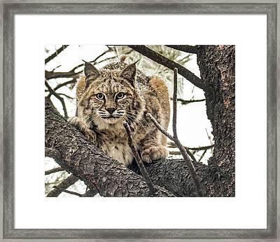 Bobcat In Winter Framed Print