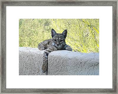Bobcat Kitten Heads Up Framed Print by Bonnie See