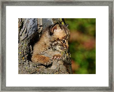 Bobcat Kitten Looking Out From A Hollow Tree Den In An Autumn Fo Framed Print by Reimar Gaertner