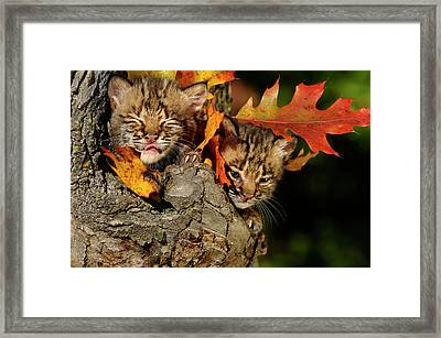 Bobcat Kitten With Eyes Closed Licking Nose In A Tree Hollow Den Framed Print by Reimar Gaertner