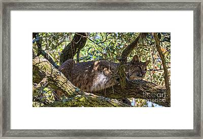 Bobcat Living High Framed Print by Bill And Deb Hayes
