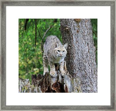 Bobcat Framed Print by Louise Heusinkveld