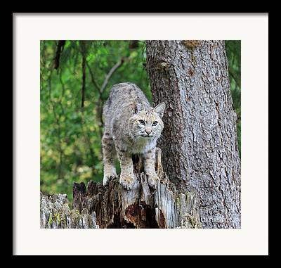 Male Bobcat Framed Prints