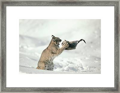 Bobcat Lynx Rufus Capturing Muskrat Framed Print by Michael Quinton
