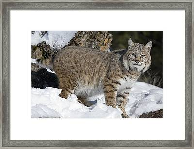 Bobcat Lynx Rufus In The Snow Framed Print