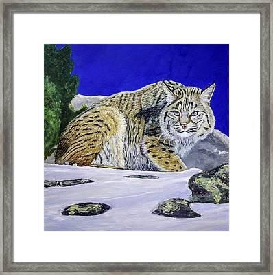 Bobcat Framed Print by Manuel Lopez