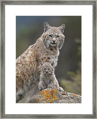 Bobcat Mother And Kitten North America Framed Print