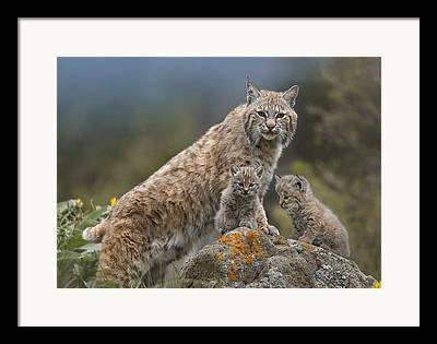 Lynx Rufus Framed Prints
