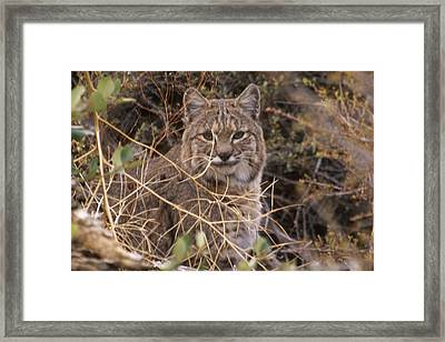 Bobcat - Mount Shasta Framed Print by Soli Deo Gloria Wilderness And Wildlife Photography
