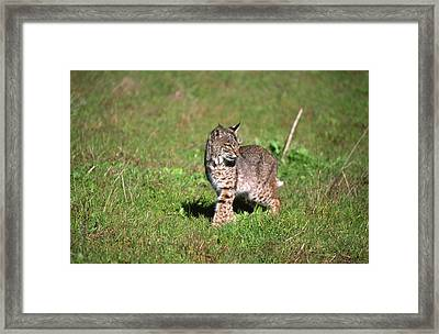 Bobcat On Wildcat Beach Framed Print by Soli Deo Gloria Wilderness And Wildlife Photography