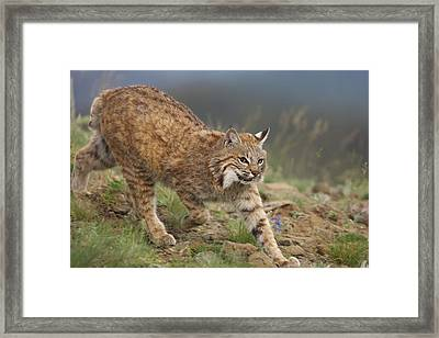 Bobcat Stalking North America Framed Print
