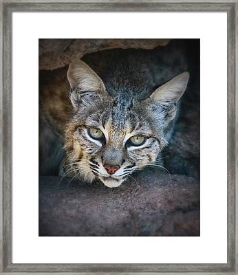 Bobcat Stare Framed Print by Elaine Malott
