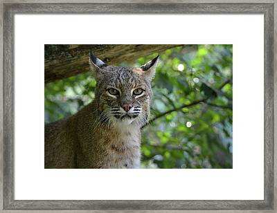 Bobcat Staring Contest Framed Print