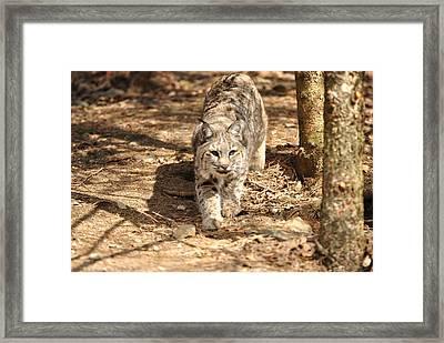 Bobcat Framed Print by Terri McLellan