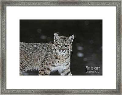 Bobcat Walks By The Stream Framed Print