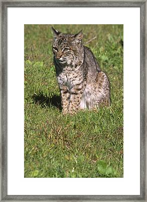 Bobcat - Wildcat Beach Framed Print by Soli Deo Gloria Wilderness And Wildlife Photography